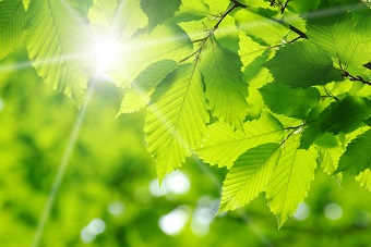Green leaves with sun shining through